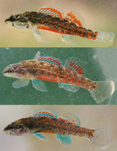 Watercress Darters. Thanks to Dr. Bernie Kuhajda